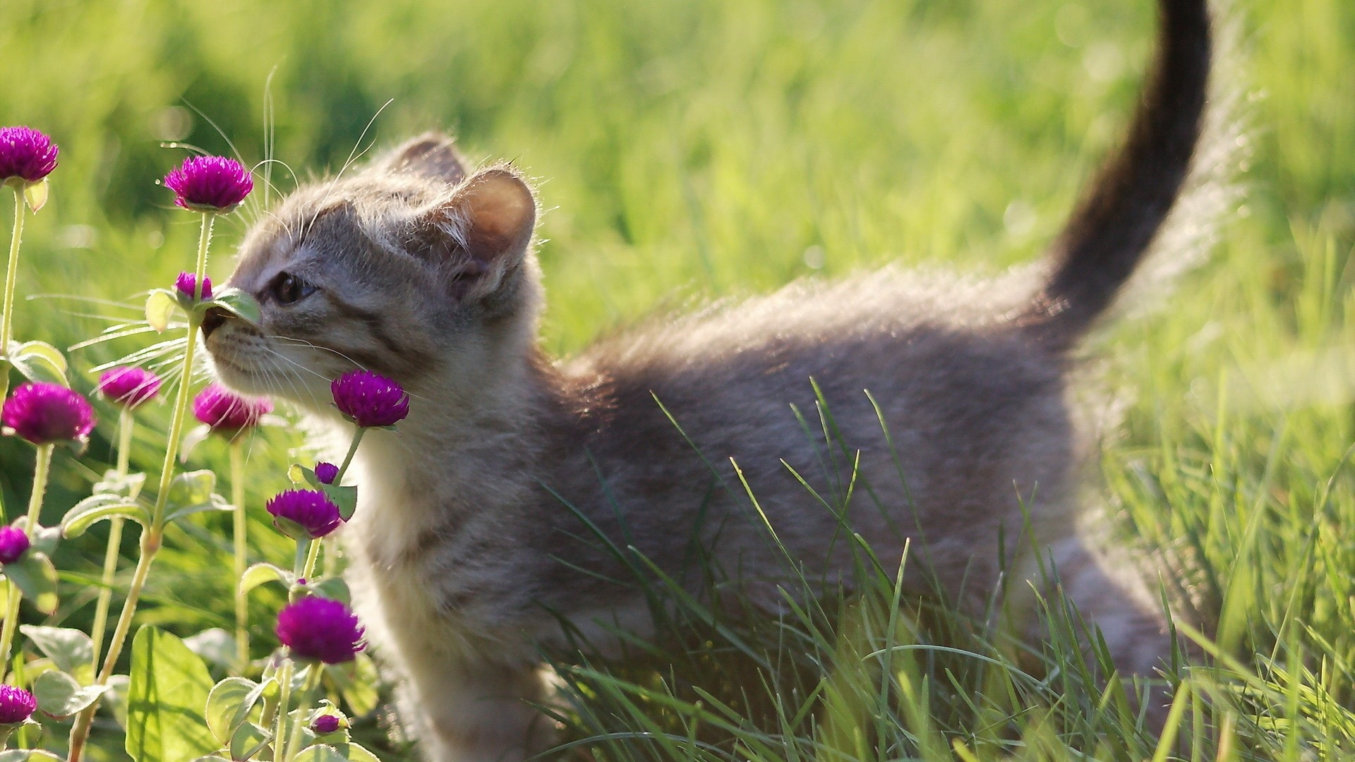 kitten-gray-grass-http-www-u-org-kitten-gray-grass-wallpaper-wp3807448