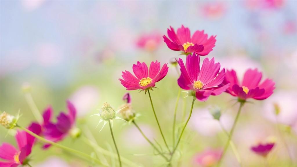 Desktop-HD-Flower-Wallpaper-Bright-red-flowers_1366x768-1024x576