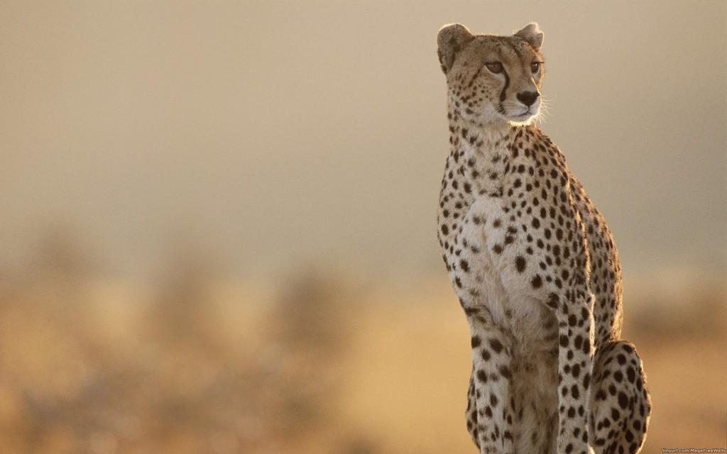 Cheetah-wallpaper-1024x640
