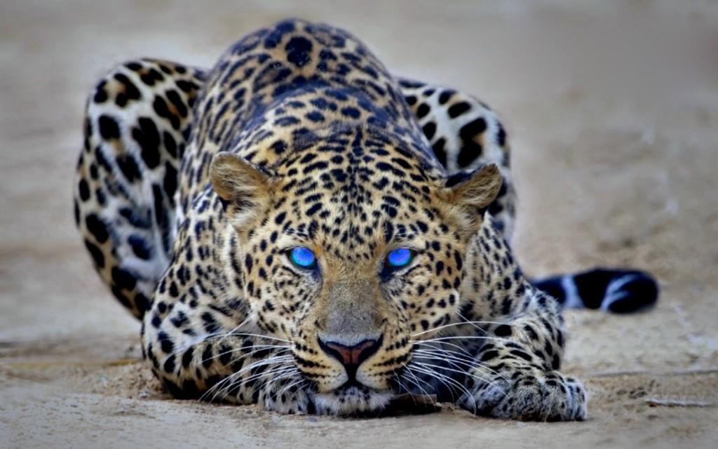 Cheetah-wallpaper3-1024x640
