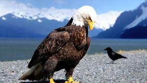 Eagle tapet