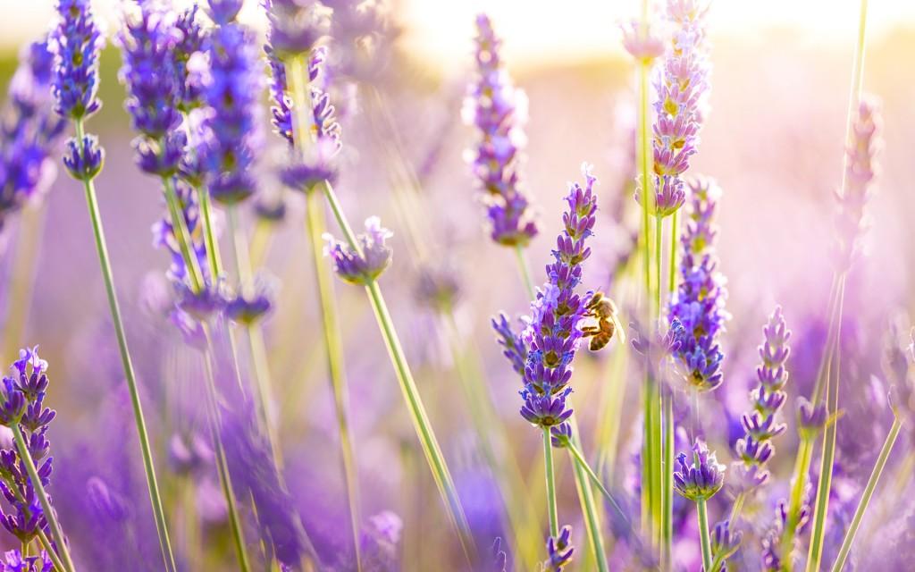 lavender-wallpaper2-1024x640