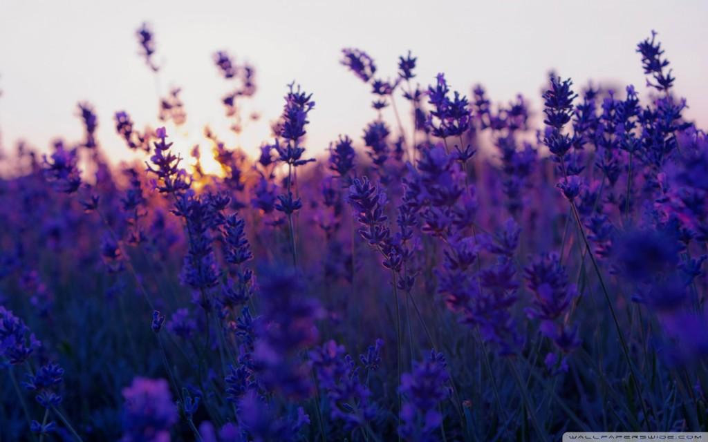 lavender-wallpaper6-1024x640