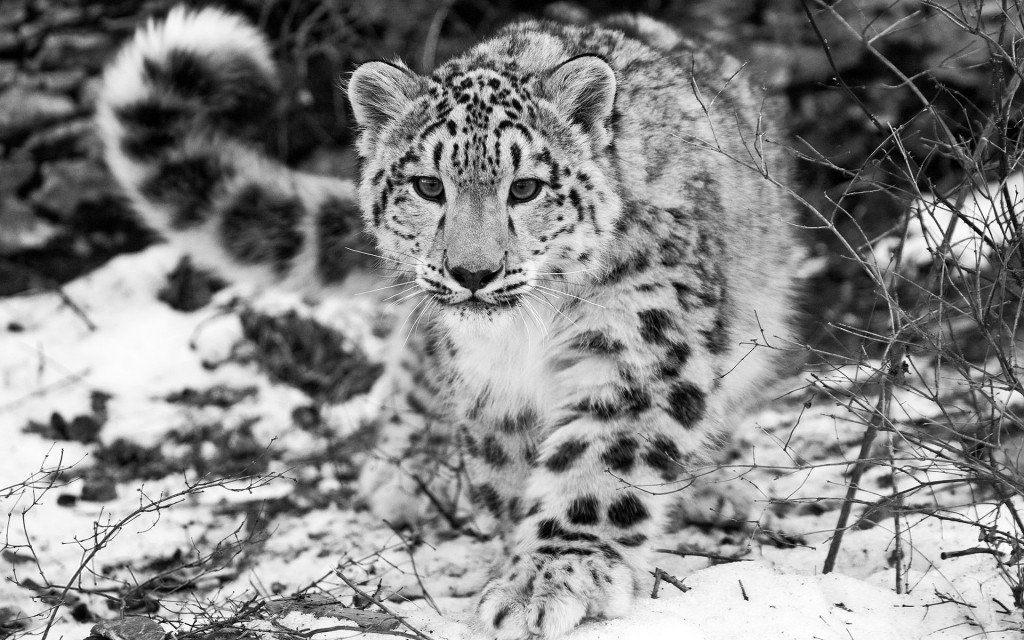 snow-leopard-wallpaper10-1024x640