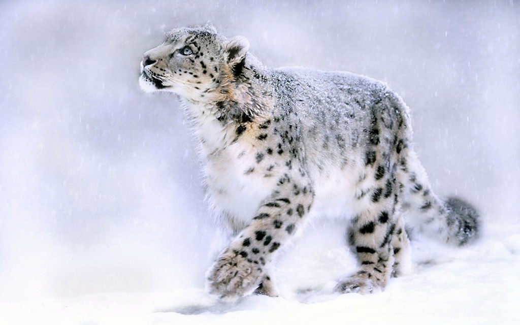 snow-leopard-wallpaper5-1024x640
