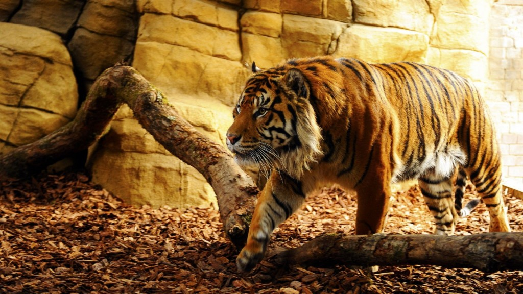 tiger-wallpapers10-1024x576
