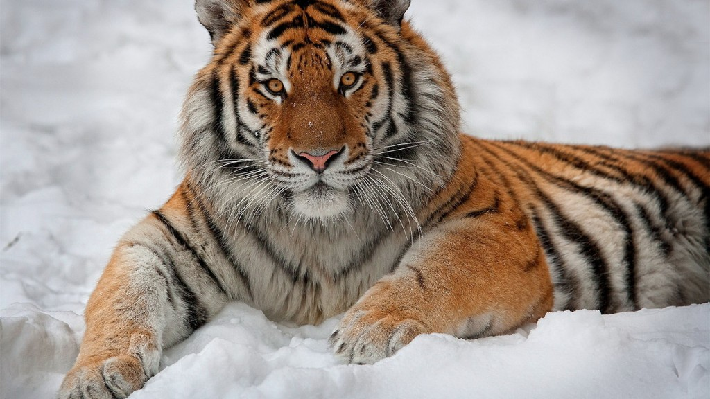 tiger-wallpapers5-1024x576