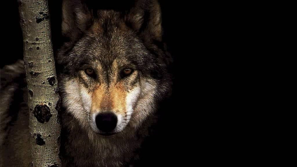 wolf-wallpapers2-1024x576