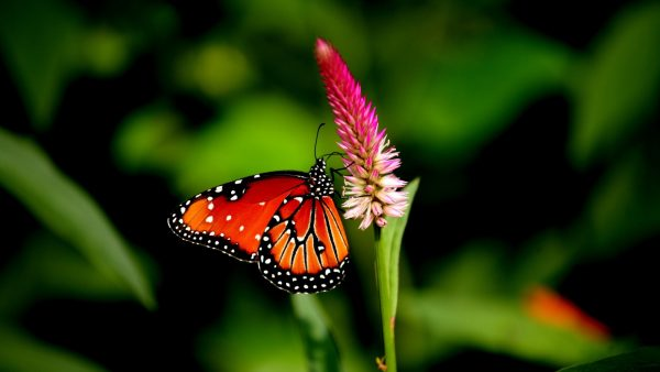 butterflies-wallpaper-HD3-600x338