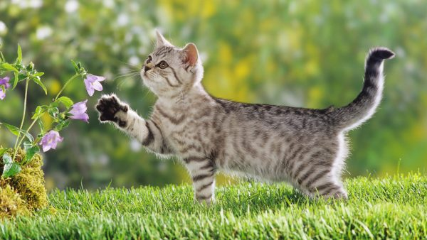 cat-wallpaper-hd-HD10-600x338