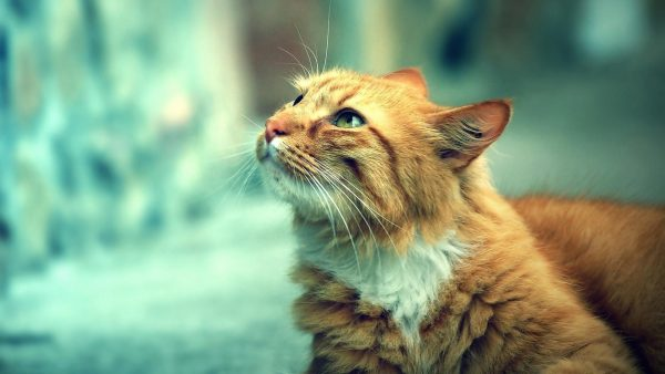 cat-wallpaper-hd-HD3-600x338