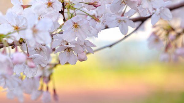 cherry-blossoms-wallpaper-HD10-600x338