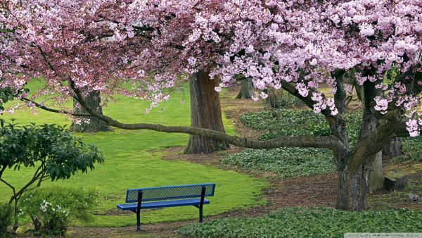 cherry-blossoms-wallpaper-HD4-600x338