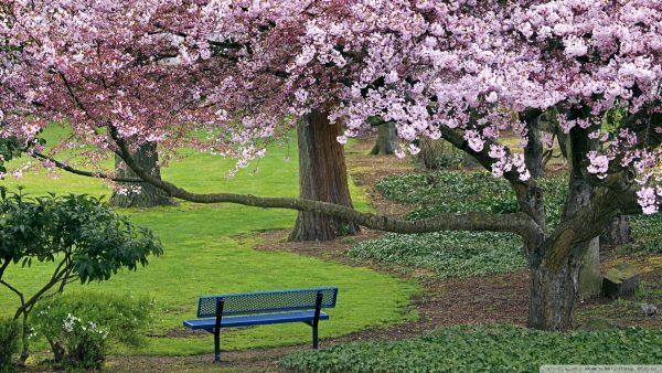 cherry-blossoms-wallpaper-HD4-600x338