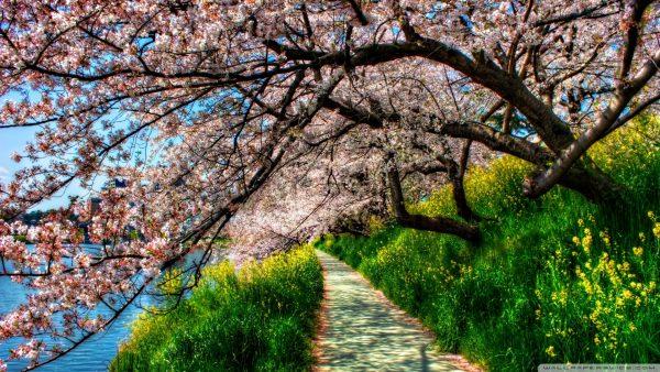 cherry-blossoms-wallpaper-HD9-600x338
