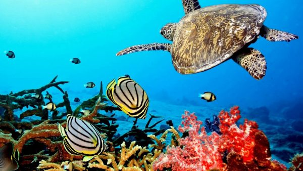 coral-wallpaper-HD2-600x338