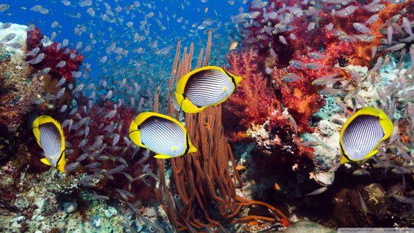 coral-wallpaper-HD5-600x338