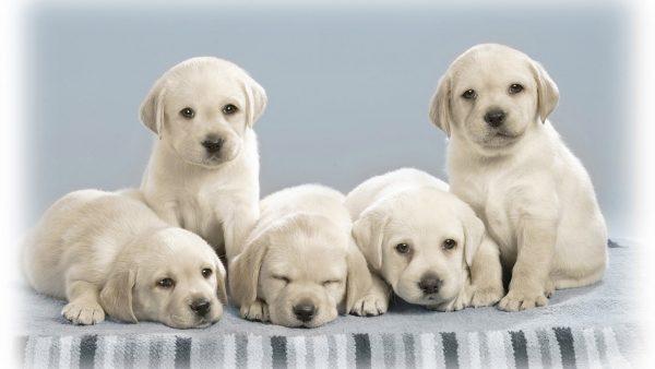 dog-wallpapers-HD3-600x338