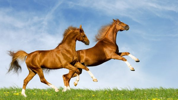 horse-wallpapers-HD4-600x338