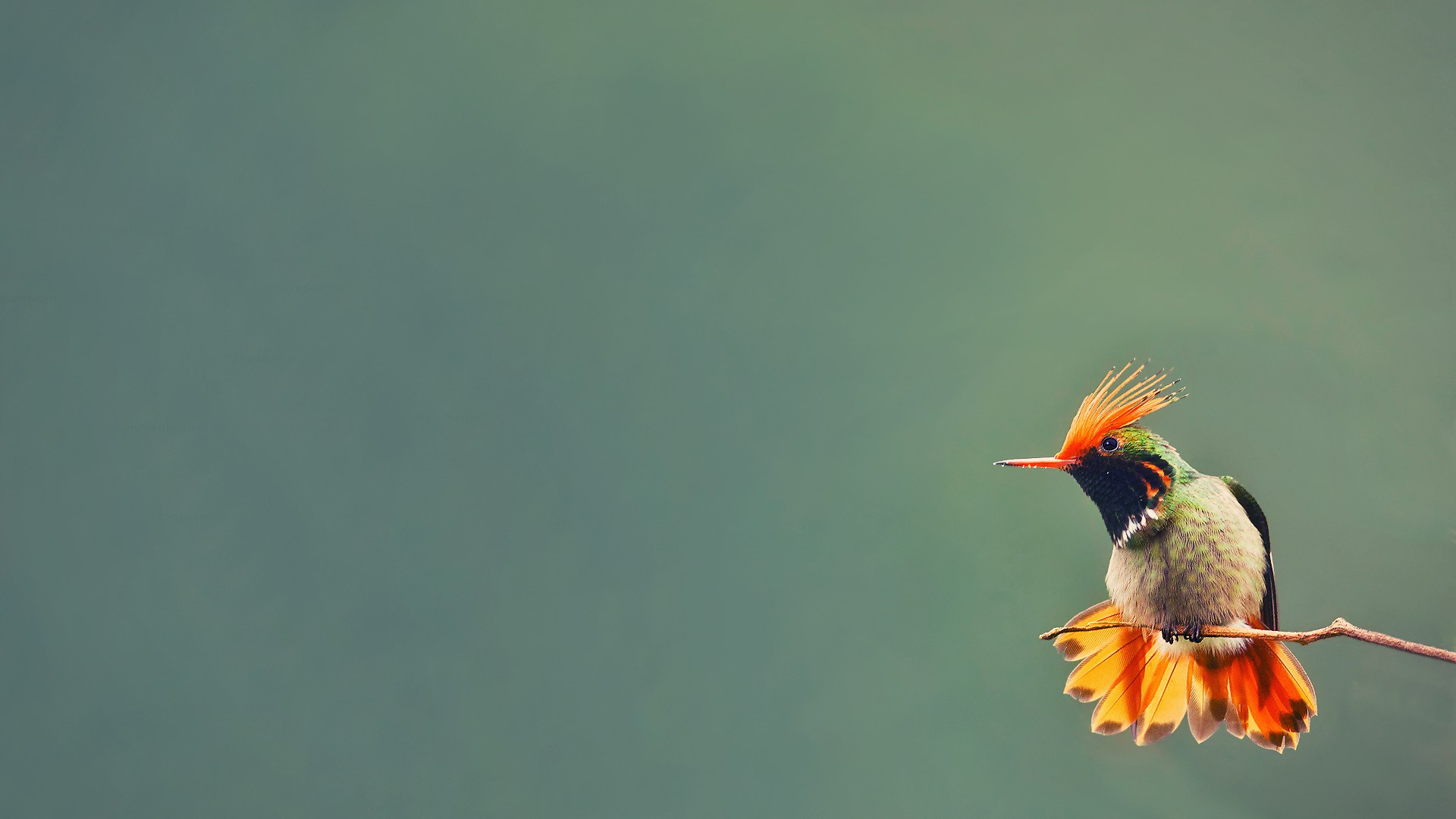 Colibri Fond Décran Hd