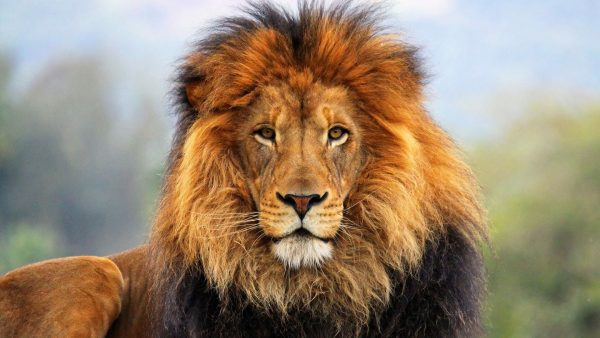 lion-wallpapers-HD5-600x338