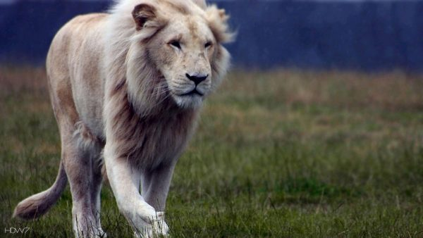 lion-wallpapers-HD8-600x338