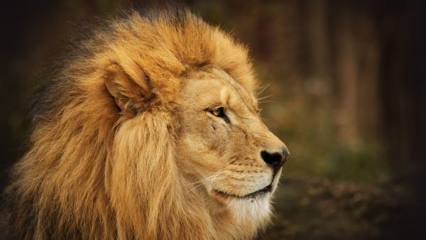 lion-wallpapers-HD9-600x338