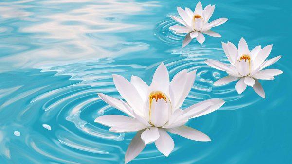 lotus-wallpaper-HD10-600x338