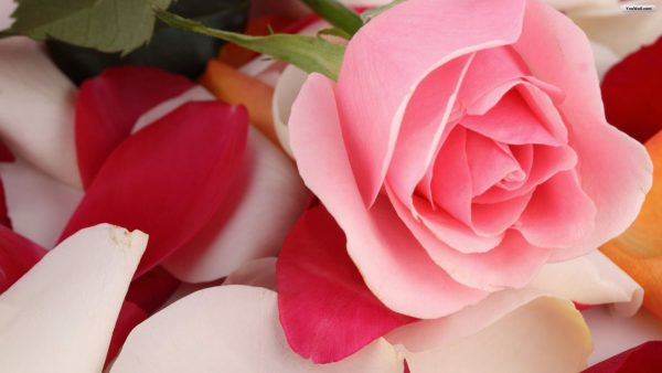 pink-roses-wallpaper-HD4-600x338