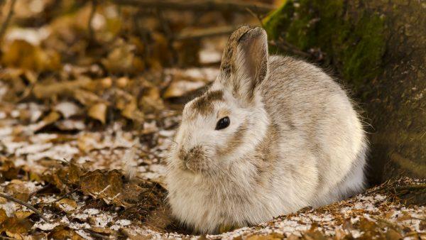 rabbit-wallpaper-HD7-600x338