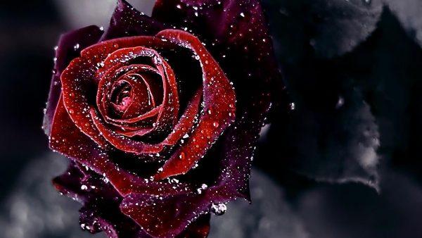 red-roses-wallpaper-HD3-600x338