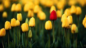 tulip kertas dinding HD