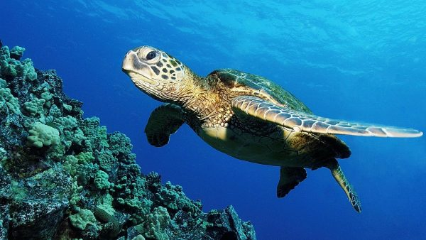 turtle-wallpaper-HD7-600x338