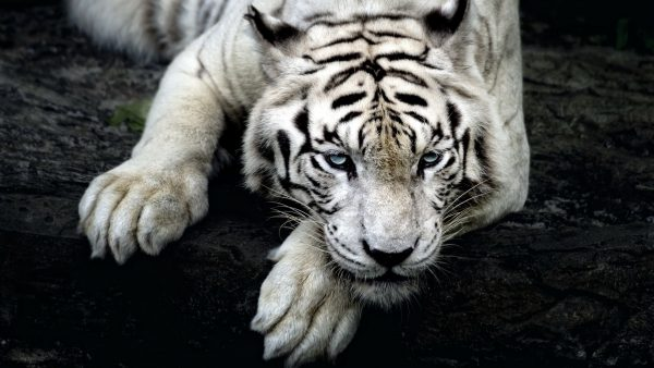 wallpaper-tiger-HD1-600x338