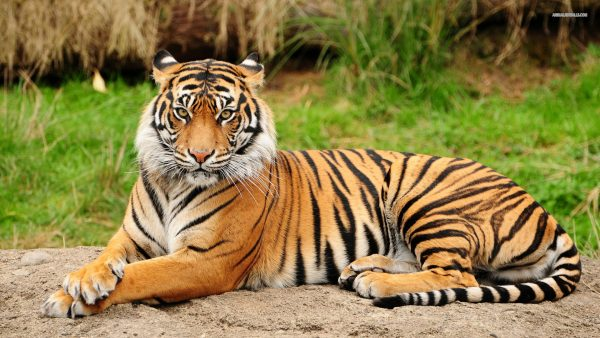 wallpaper-tiger-HD5-600x338