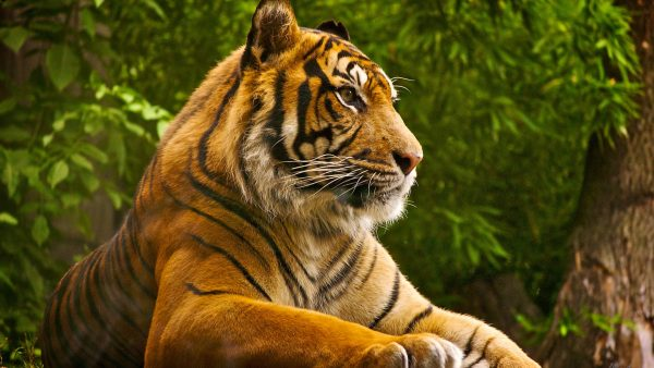 wallpaper-tiger-HD9-600x338