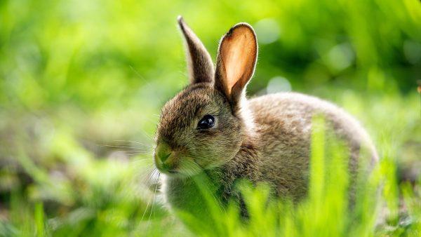 bunny-wallpaper10-600x338