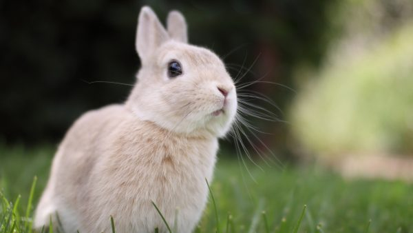 bunny-wallpaper4-600x338