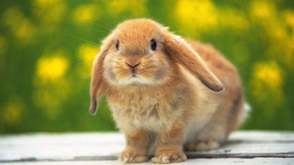 bunny-wallpaper7-600x338