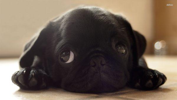 cute-puppy-wallpaper-HD3-600x338