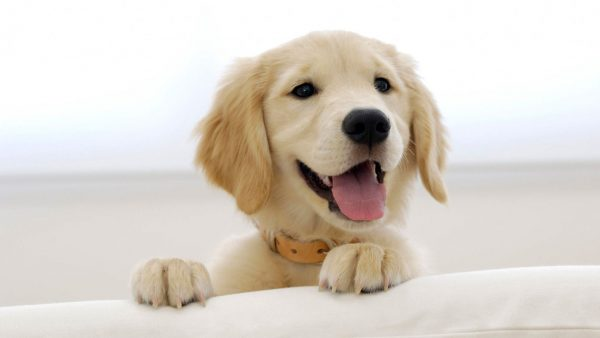 cute-puppy-wallpaper-HD4-600x338
