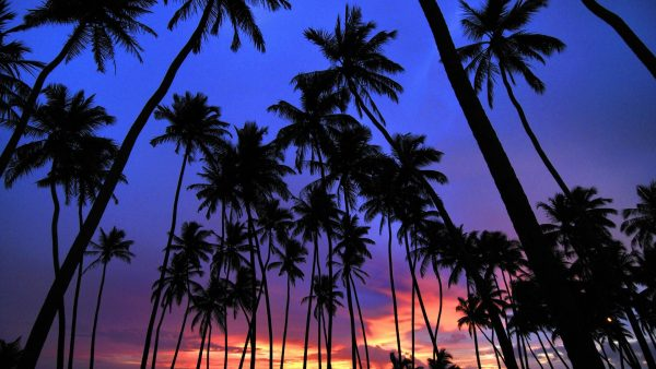 palm-trees-wallpaper1-600x338