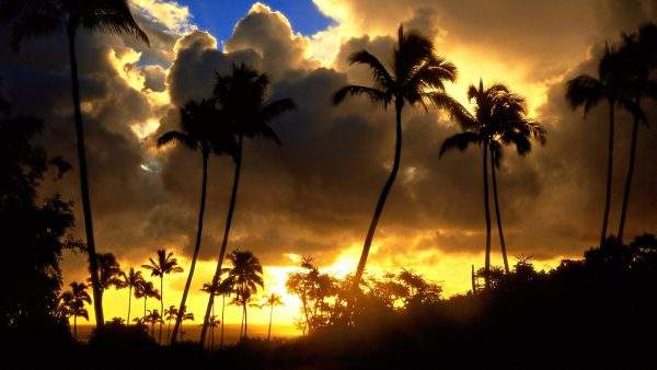 palm-trees-wallpaper6-600x338