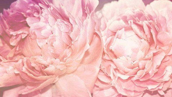 peonies-wallpaper-HD2-600x338