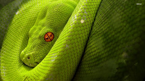 snake-wallpaper9-600x338