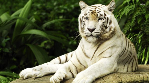 white-tiger-wallpaper10-600x338