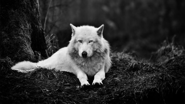 wolf-wallpapers2-600x338