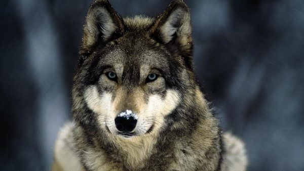 wolf-wallpapers5-600x338