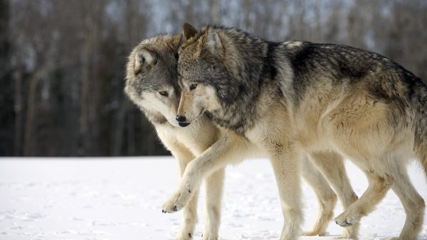 wolf-wallpapers8-600x338