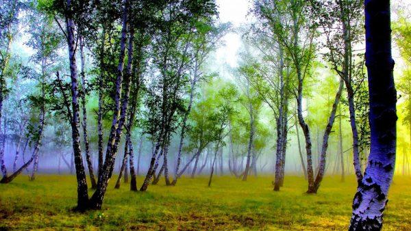 birch-bark-wallpaper-HD2-600x338